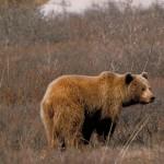 La Ciugudul de Sus, un urs a dat atacul la stupii unor gospodari