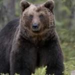 Urşii şi porcii mistreţi fac nopţi albe şi zile negre localnicilor din Râmeţ