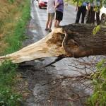 La Gâmbaş un copac doborât de vânt a blocat circulația rutieră pentru mai multe zeci de minute
