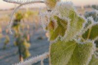 Zeci de viticultori din Aiud stau cu frica în sân şi aşteaptă îmbunătăţirea vremii. În caz contrar, culturile vor fi compromise în proporţie de peste 80%