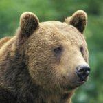 Urşii dau iama în gospodăriile localinicilor din satul Rachiș, comuna Mirăslău