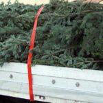 17 brazi de Craciun transportați ilegal de un bărbat din Albac, confiscați de polițiștii din Aiud la Livezile