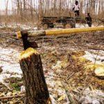 Dosar penal pentru un bărbat de 64 de ani din Lopadea Nouă, după ce a tăiat fără drept 50 de arbori din pădurea statului